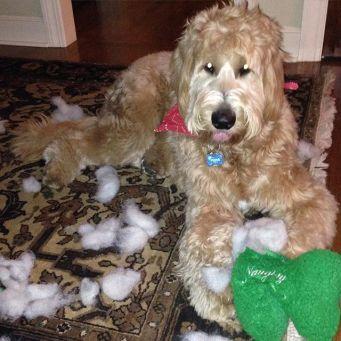 Resultado de imagen para poodle dog, destroy all