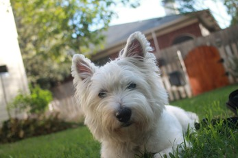 terrier-722643_1280